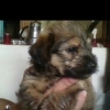 Vend chiot Yorkshire